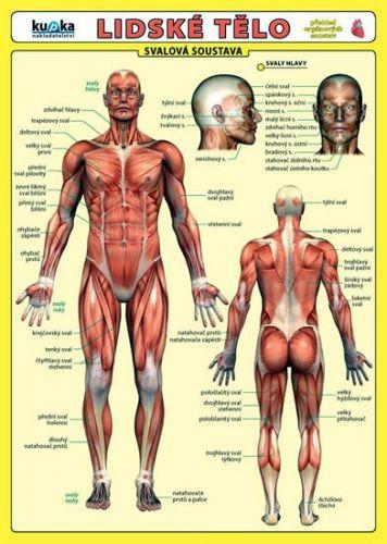Kupka a  Petr: Lidské tělo - Přehled orgánových soustav - Svalová soustava cena od 31 Kč