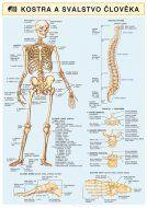 Holman Kostra a svalstvo člověka A4 cena od 50 Kč